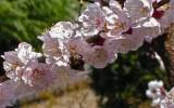 Fiori di albicocco. Parabiago (MI), Aprile 2006