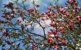 Magnolia. Parabiago (MI), Aprile 2012